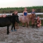 Shettland Ponys mit Equidenpass und Abstammung